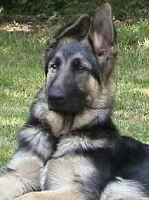 German Shepherd Pre-school Puppy Training & Socialization